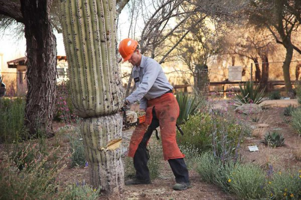 How Do The Professionals Remove A Saguaro Cactus?