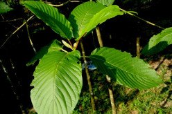 Different Kinds Of Kratom Tree and Leaf