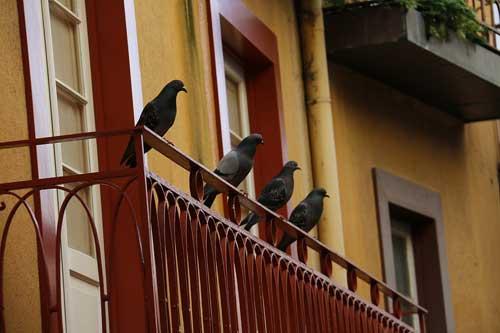 Menace of Birds