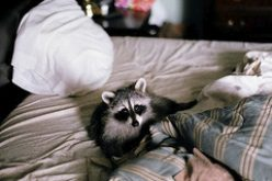 Why Is It Important To Follow Expert Techniques For Raccoon Removal?