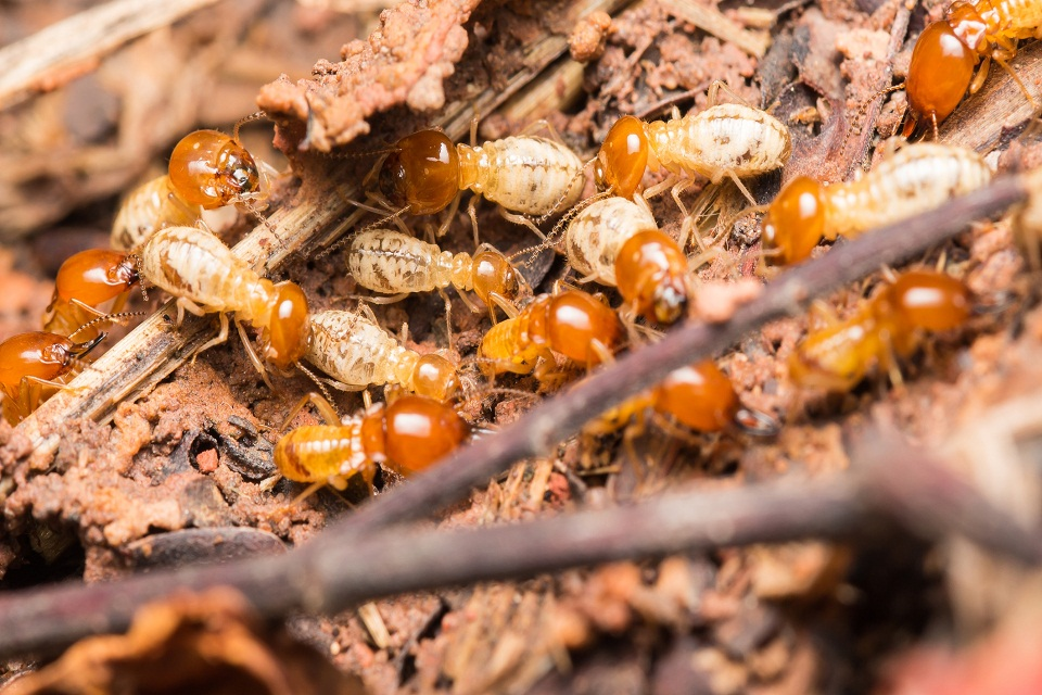 Get Free from Termite Infestation With The Right Termite Control